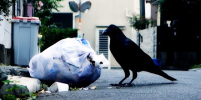 Crow is eating garbage