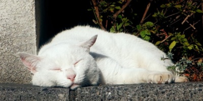 Sleepy white cat lying down