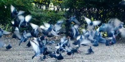 Gray pigeons flew away