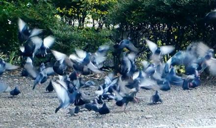 Gray pigeons flew away
