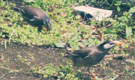 White-cheeked Starling walking