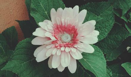 Light pink dahlia