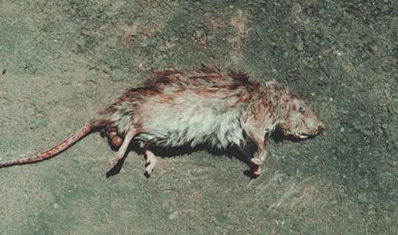 Dead rat on street