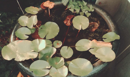 Nymphaea leaves