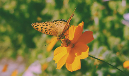 Indian fritillary on Yellow Cosmos