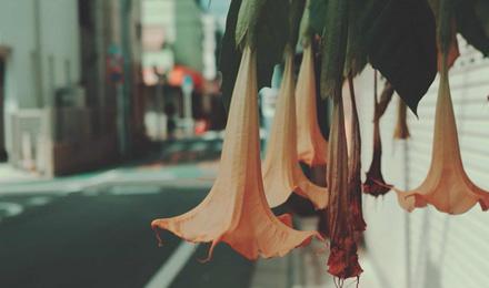 Yellow Brugmansia