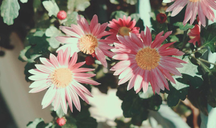 Pink small chrysanthemum