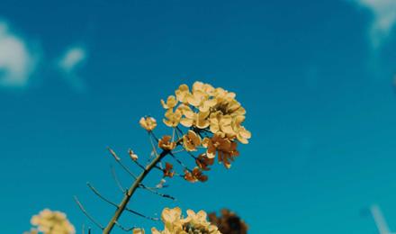 Brassica rapa