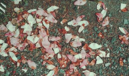 Fallen Purple Magnolia