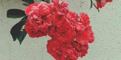 Chevy Chase (Rambling Rose)