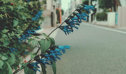 Anise-scented sage