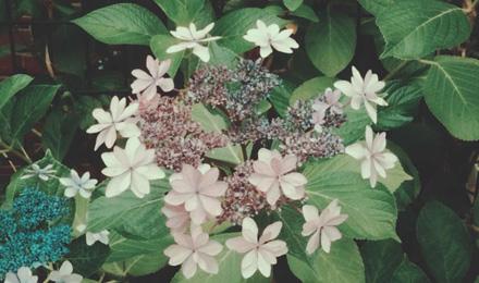 Light purple Hydrangea