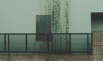 Ivy growing