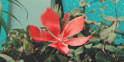 Texas Star Hibiscus