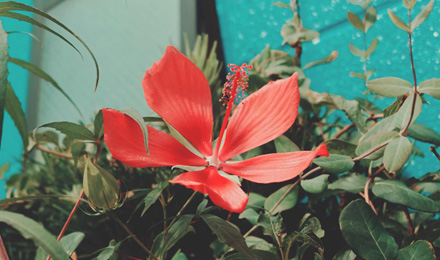 Texas Star Hibiscus