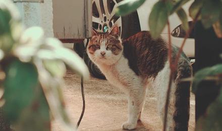 Fat calico cat