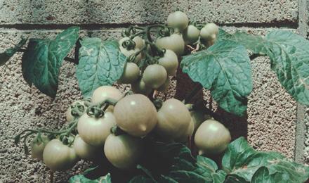 Unripe cherry tomatoes