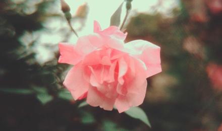 Pink sasanqua camellia