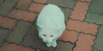 White fat cat