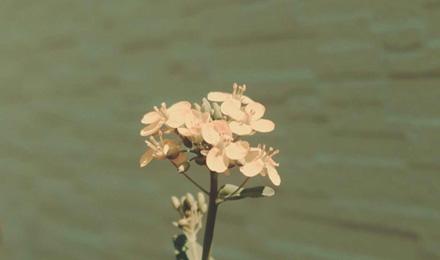 Rapeseed flowers