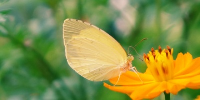 Small white butterfly